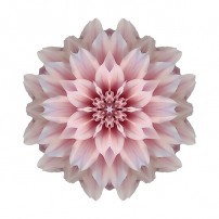Pink Dahlia I (color, white)