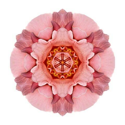 Pink and Orange Rose IV