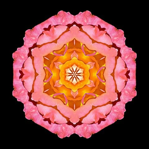 Pink and Orange Rose I
