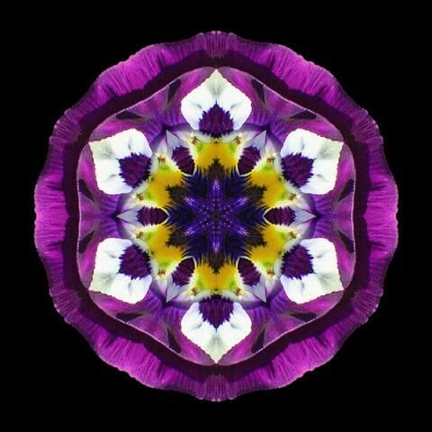 Purple Pansy II