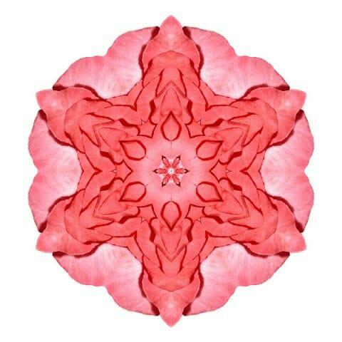 Red Begonia II