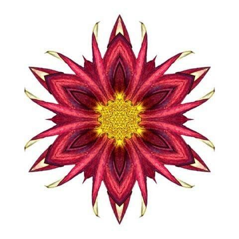 Red Chrysanthemum III