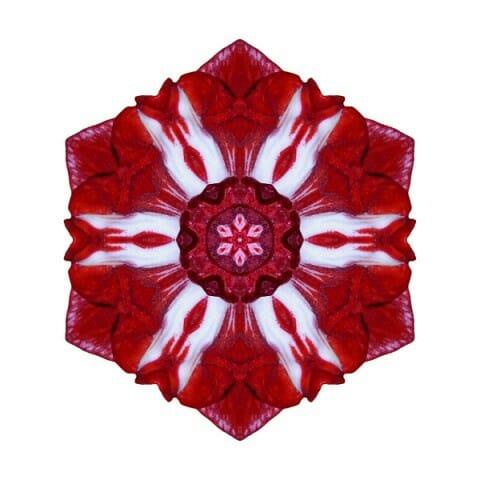 Red and White Amaryllis IV