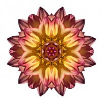 Red and Yellow Dahlia IV (color, white)