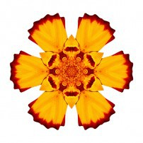 Red and Yellow Marigold II (color, white)