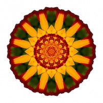 Red and Yellow Marigold V (color, white)