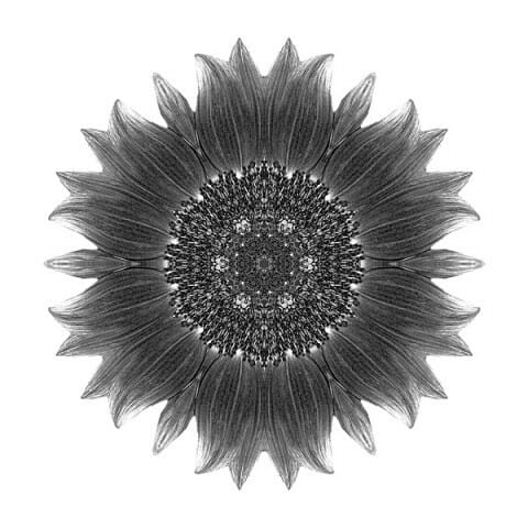 Sunflower Moulin Rouge I