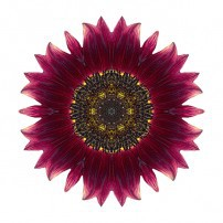 Sunflower Moulin Rouge I (color, white)