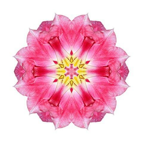 Tulip Peach Blossom III
