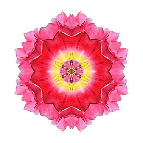 Tulip Peach Blossom I