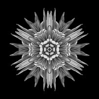 Violet Chrysanthemum IV (b&w, black)