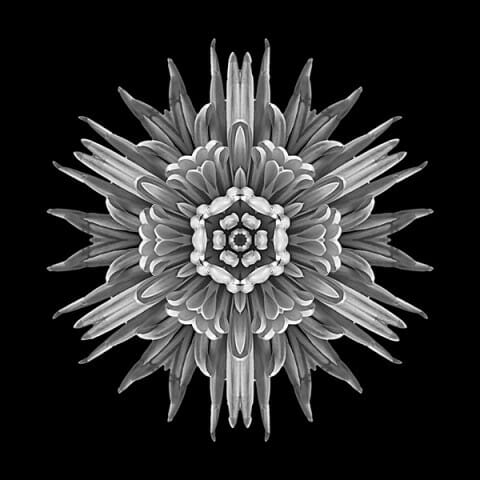 Violet Chrysanthemum IV