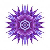 Violet Chrysanthemum IV (color, white)