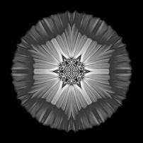 Violet Cosmos II (b&w, black)