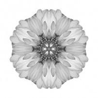 Violet Dahlia II (b&w, white)