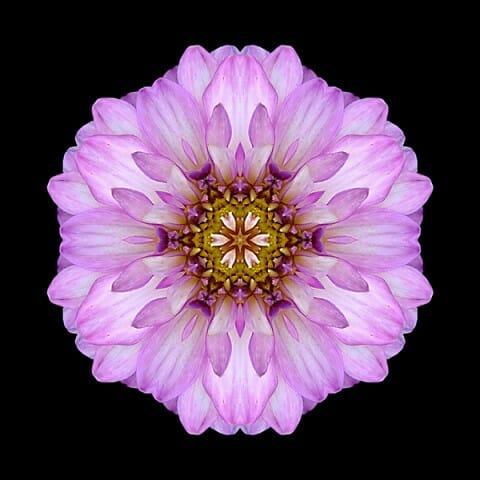 Violet Dahlia II