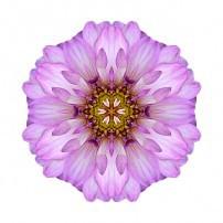 Violet Dahlia II (color, white)