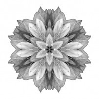 Violet Dahlia I (b&w, white)