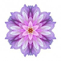 Violet Dahlia I (color, white)