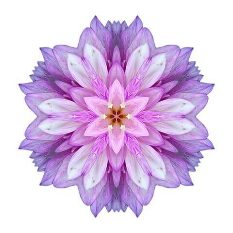 Violet Dahlia I