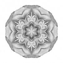 White Begonia II (b&w, white)