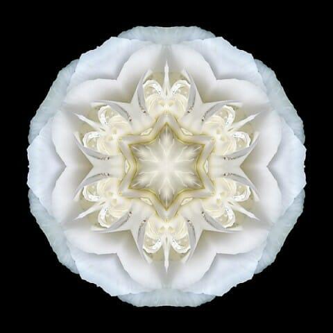 White Begonia II