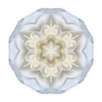 White Begonia II (color, white)