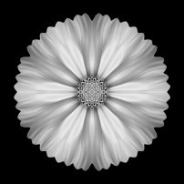 White Cosmos I (b&w, black)