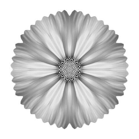 White Cosmos I