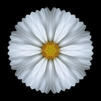 White Cosmos I (color, black)