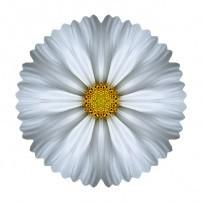 White Cosmos I (color, white)