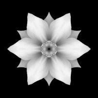 White Daffodil II (b&w, black)