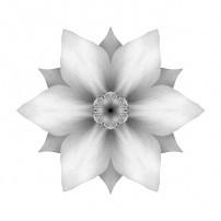White Daffodil II (b&w, white)