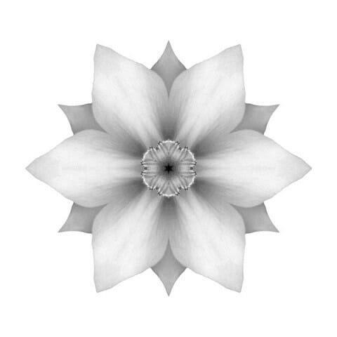 White Daffodil II
