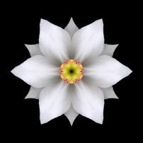 White Daffodil II (color, black)