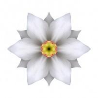 White Daffodil II (color, white)