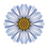 White Daisy I (color, white)