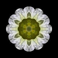 White Petunia IV (color, black)