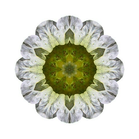 White Petunia IV