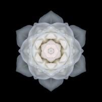White Rose I (color, black)