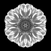 White Zinnia Elegans II (b&w, black)