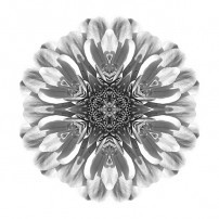 White Zinnia Elegans II (b&w, white)