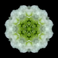 White and Green Begonia I (color, black)