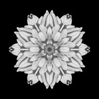 White and Pink Dahlia I (b&w, black)