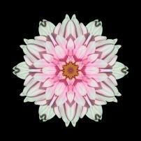 White and Pink Dahlia I (color, black)