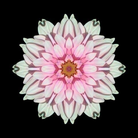 White and Pink Dahlia I