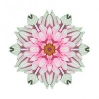 White and Pink Dahlia I (color, white)