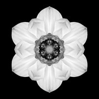 White and Yellow Daffodil I (b&w, black)