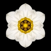 White and Yellow Daffodil I (color, black)