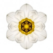 White and Yellow Daffodil I (color, white)